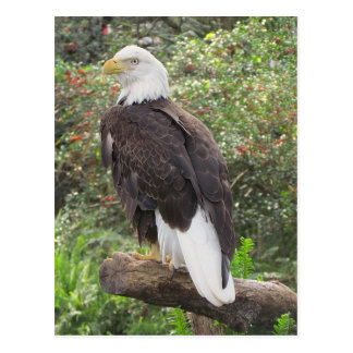 Eagle calvo postal