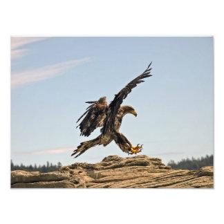 Eagle calvo que aterriza la impresión de la bella  impresiones fotográficas