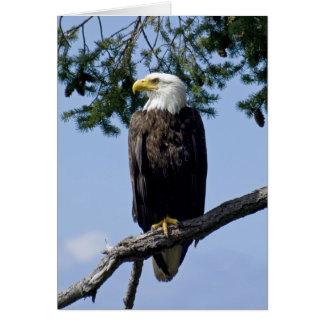 Eagle calvo - tarjetas