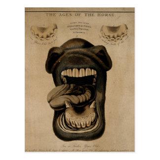 Edades de los dientes de la boca del caballo que postal