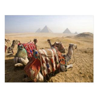 Egipto, El Cairo. Mirada de reclinación de los cam Postales