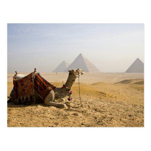 Egipto, El Cairo. Un camello solitario mira a trav Postal