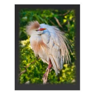 Egret de ganado que cuelga en la postal