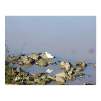 Egret nevado en el río Sacramento Postal
