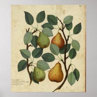 Ejemplo botánico de la fruta de la pera del póster