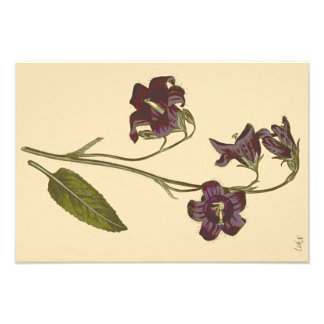 Ejemplo botánico del Bellflower con hojas sabio Arte Fotográfico