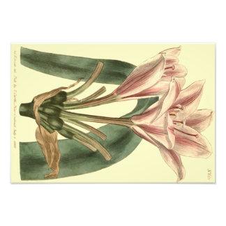 Ejemplo de hoja alargada del Amaryllis Impresion Fotografica