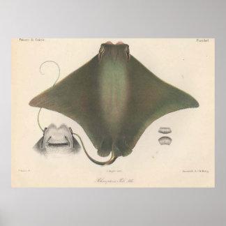 Ejemplo de la pastinaca del vintage (1863) póster