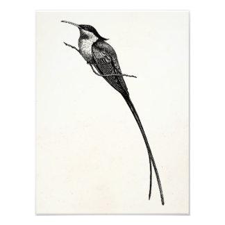 Ejemplo de largo atado del colibrí del vintage impresiones fotograficas