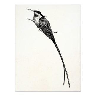 Ejemplo de largo atado del colibrí del vintage fotos