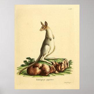 ejemplo de los 1840's de un canguro gris del este póster