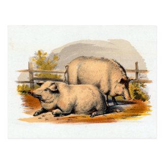 Ejemplo de los cerdos del vintage postal