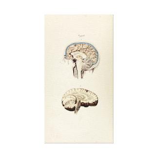 Ejemplo del vintage del cerebro humano lienzo