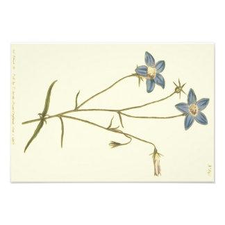 Ejemplo delgado del azul del Bellflower Impresión Fotográfica