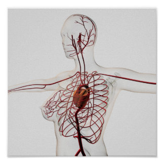 Ejemplo médico del sistema circulatorio femenino impresiones
