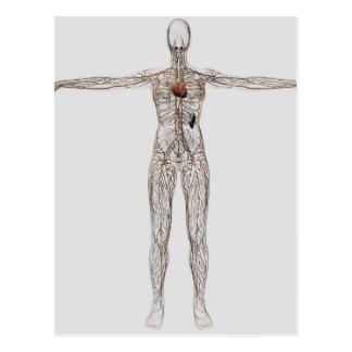 Ejemplo médico del sistema linfático femenino postal