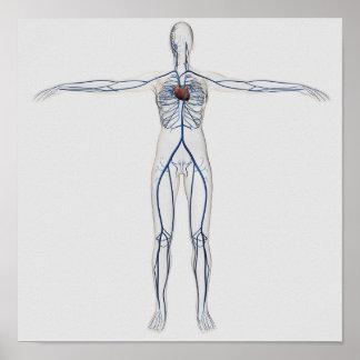 Ejemplo médico: Sistema circulatorio femenino 1 Poster