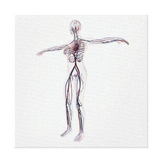 Ejemplo médico: Sistema circulatorio femenino 2 Impresión En Lienzo Estirada