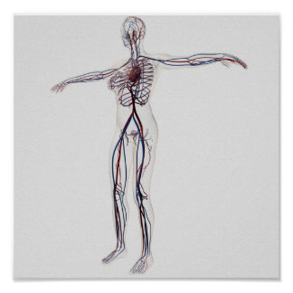 Ejemplo médico: Sistema circulatorio femenino 2 Posters