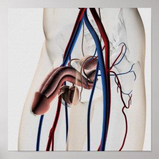 Ejemplo médico: Sistema reproductivo masculino 4 Impresiones