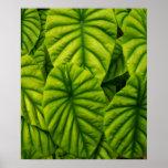 El Alocasia verde Cuprea sale de la isla de Hawaii Posters