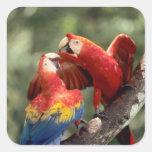 El Amazonas, el Brasil. Pares de Macaws del Pegatina Cuadradas