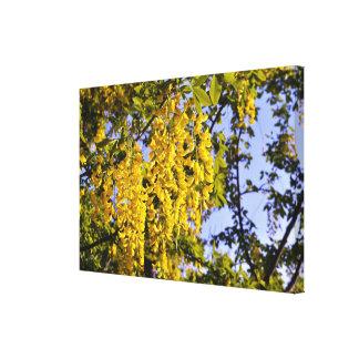 El árbol amarillo de Accacia florece la isla Impresión En Lienzo