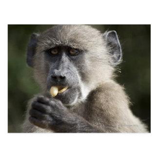 El babuino de Chacma juvenil (ursinus del Papio) Postal