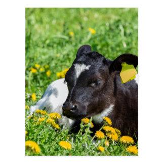 El becerro recién nacido miente en prado con los postal