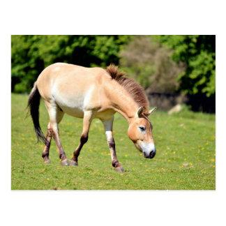 El caminar del caballo de Przewalski