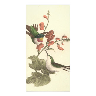 El colibrí Rojo-throated (colubris de Trochilus) Tarjeta Fotográfica