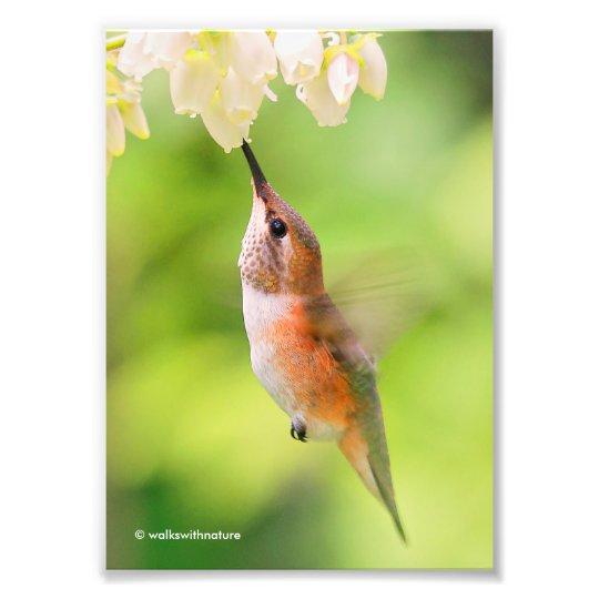 El colibrí rufo sorbe el néctar del flor del fotografía