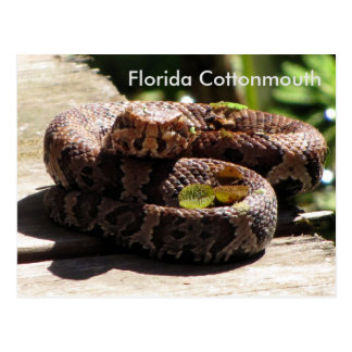 El Cottonmouth de la Florida - aprendizaje de la Postal