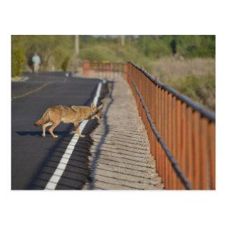 El coyote cruza el camino postal