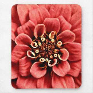 el detalle rosado del zinnia es alegre pero no alfombrilla de ratón