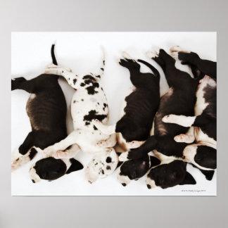 El dormir de cinco del Harlequin perritos de great Póster
