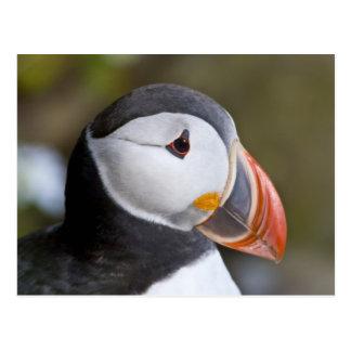 El frailecillo atlántico, un ave marina pelágica, postal