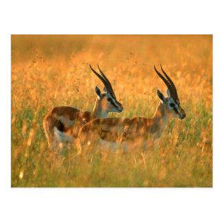 El Gazelle de Thomson (Gazella Thomsonii) en el Postal
