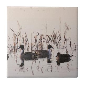 El grupo de patos del pato rojizo recolecta y las azulejo cuadrado pequeño