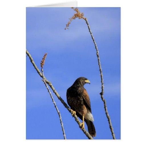 El halcón juvenil de Harris en planta del Ocotillo Felicitación