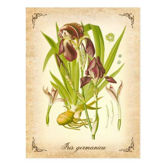 El iris alemán - ilustracion del vintage postal
