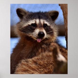 El mapache divertido que lo pega es lengua hacia póster