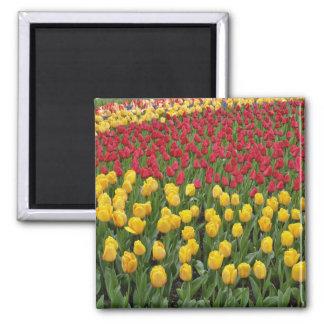 El modelo de tulipanes, Keukenhof del jardín culti Imán