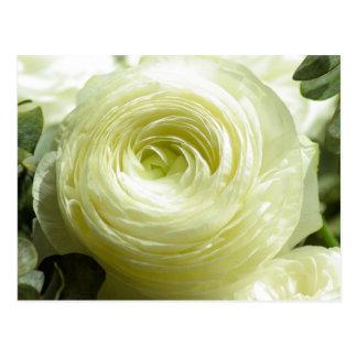 El ranúnculo blanco florece la postal