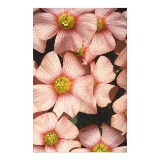 El rosa florece el alazán de madera, Oxalis Tarjetas Informativas