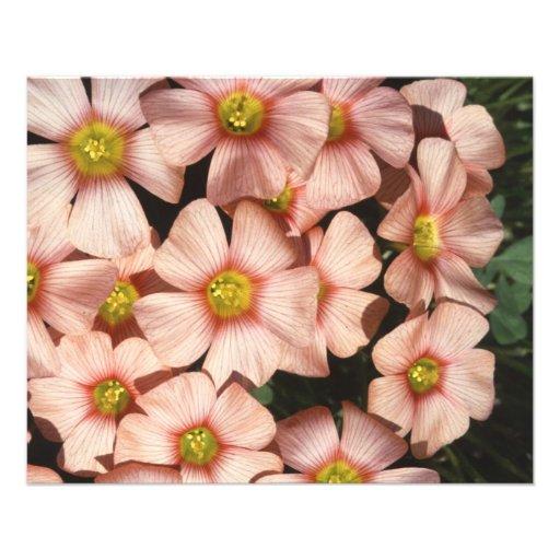 El rosa florece el alazán de madera, Oxalis Flyer Personalizado