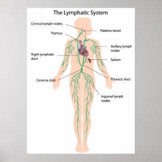 El sistema linfático etiquetado poster