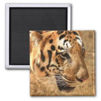 El tigre raya al indio animal del modelo de la sel