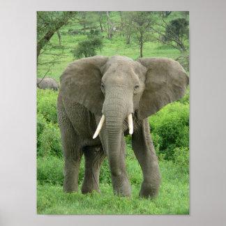 Elefante cerca de Ndutu Póster