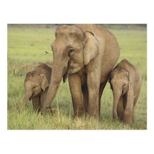 Elefante indio/asiático y jóvenes unos, Corbett Postal